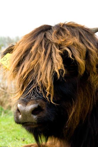 Schotsehooglander met een bad hairday